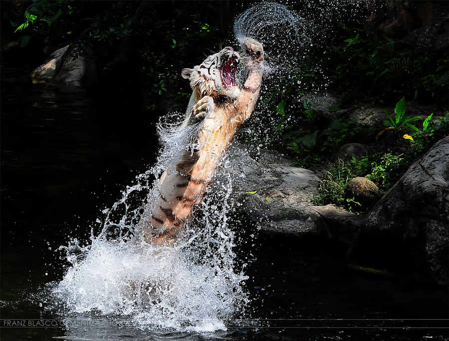 Tiger photography -White Tiger Uppercut by Franz Gementiza on 500px.com