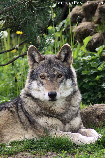 Photograph European Wolf by Alannah Hawker on 500px