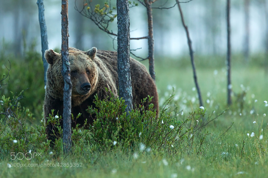 wild brown bear in a misty morning