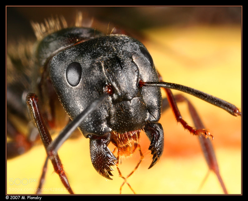 Photograph Black Ant with Jaws Open by Mark Plonsky on 500px