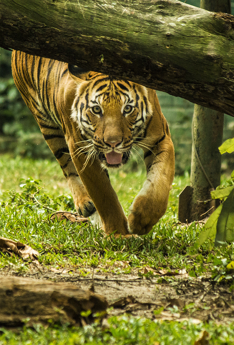 Photograph tiger by 3rdeyemonster  on 500px