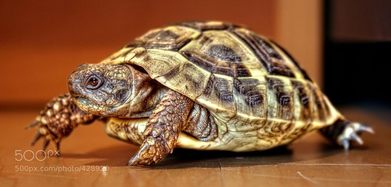 Photograph Baby Tortoise by NICOLAI BÖNIG on 500px