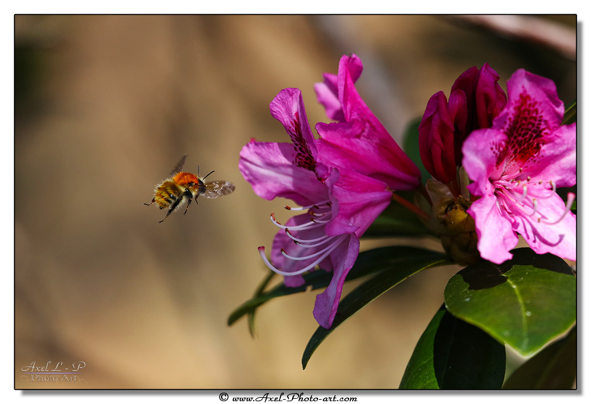 Photograph Bourdon et rhododendron by Axel Photo-art on 500px