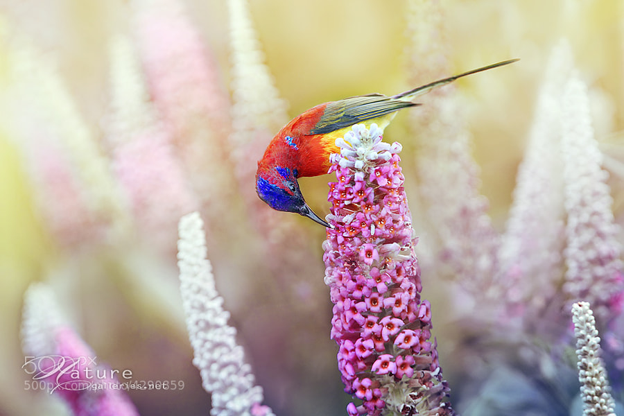 Photograph Mrs Gould's Sunbird by Sasi - smit on 500px