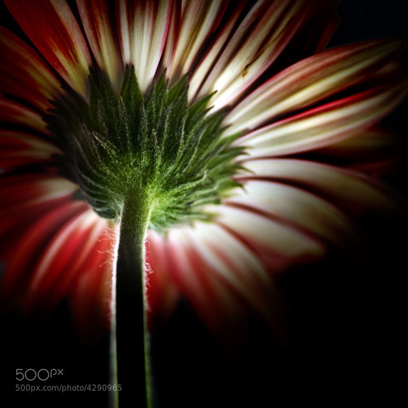 Photograph Gerbera by Gerson Leite on 500px