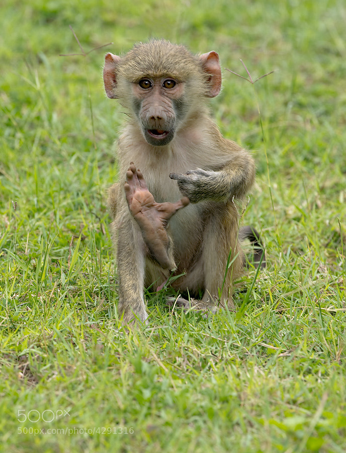 Photograph Yellow Baboon Infant by Dean Tatooles on 500px