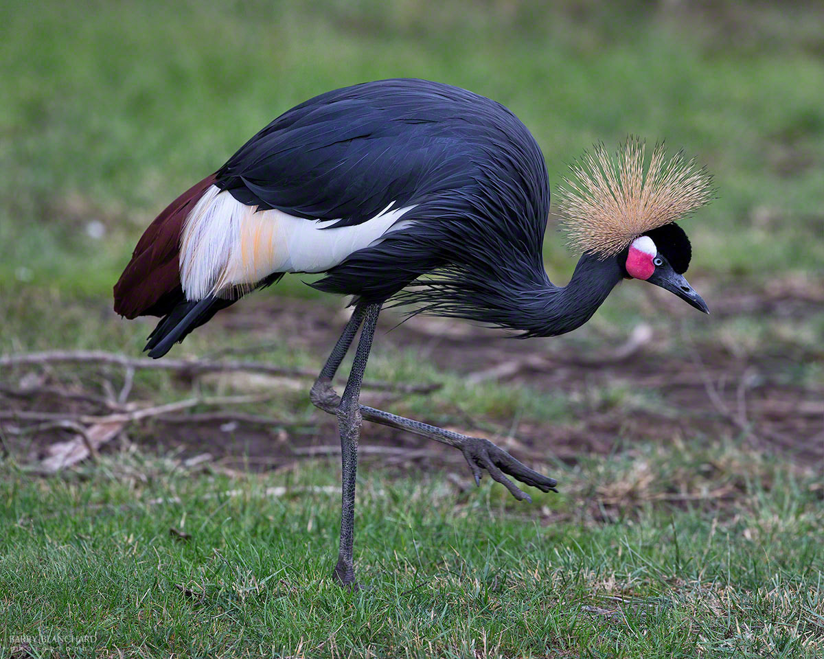 Photograph Black Crowned Crane by Barry Blanchard on 500px