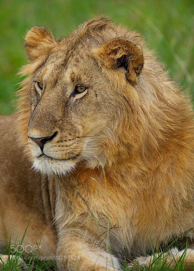 Photograph Juvenile Male Lion by Dean Tatooles on 500px