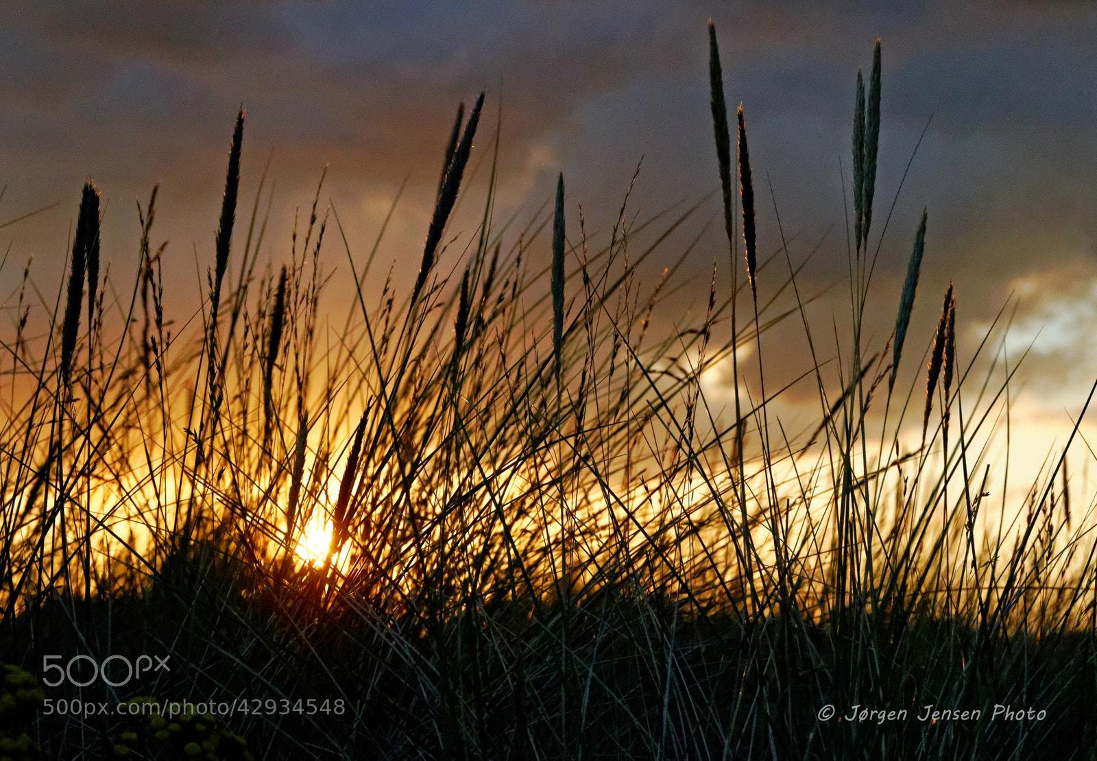 Photograph Sunset and lyme grass by Jørgen Jensen on 500px
