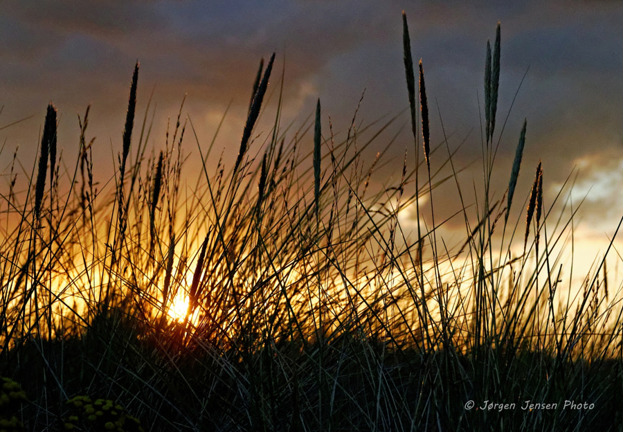 Sunset and lyme grass