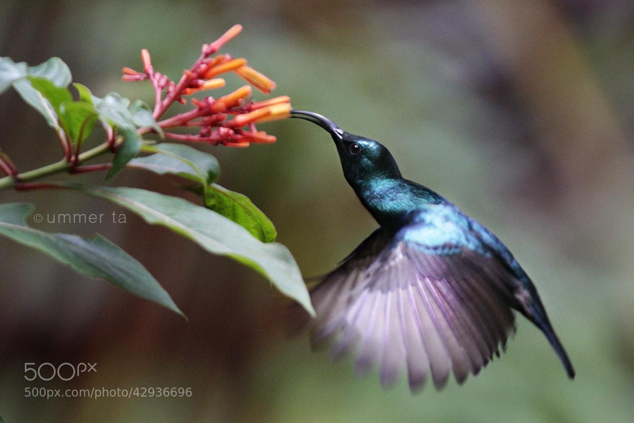 Photograph hummingbird by Artist Ummer Ta  on 500px