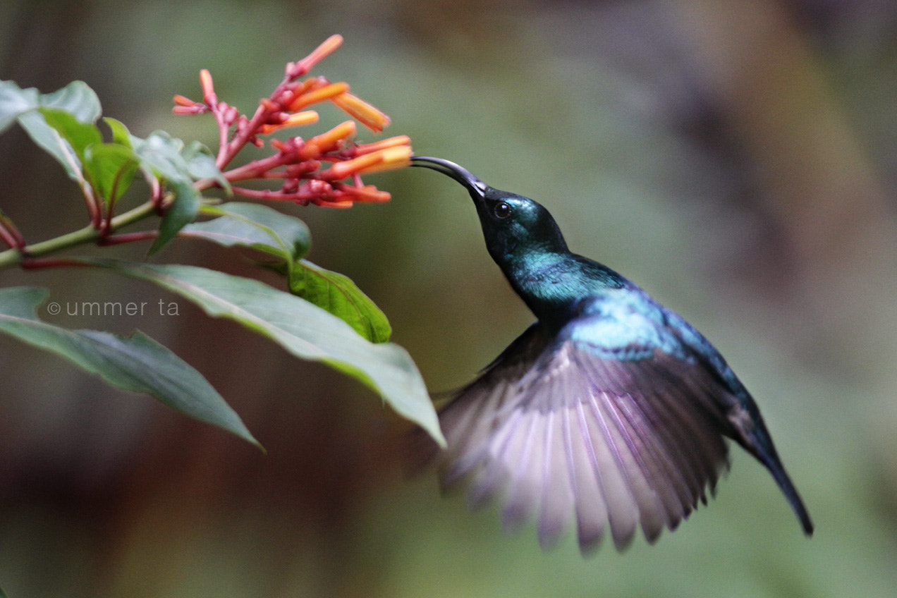 Photograph hummingbird by Artist Ummer Ta  on 500px