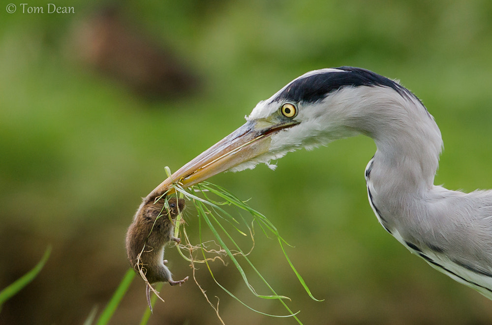 Photograph Grey Heron snatches a Vole by Tom Dean Photography on 500px