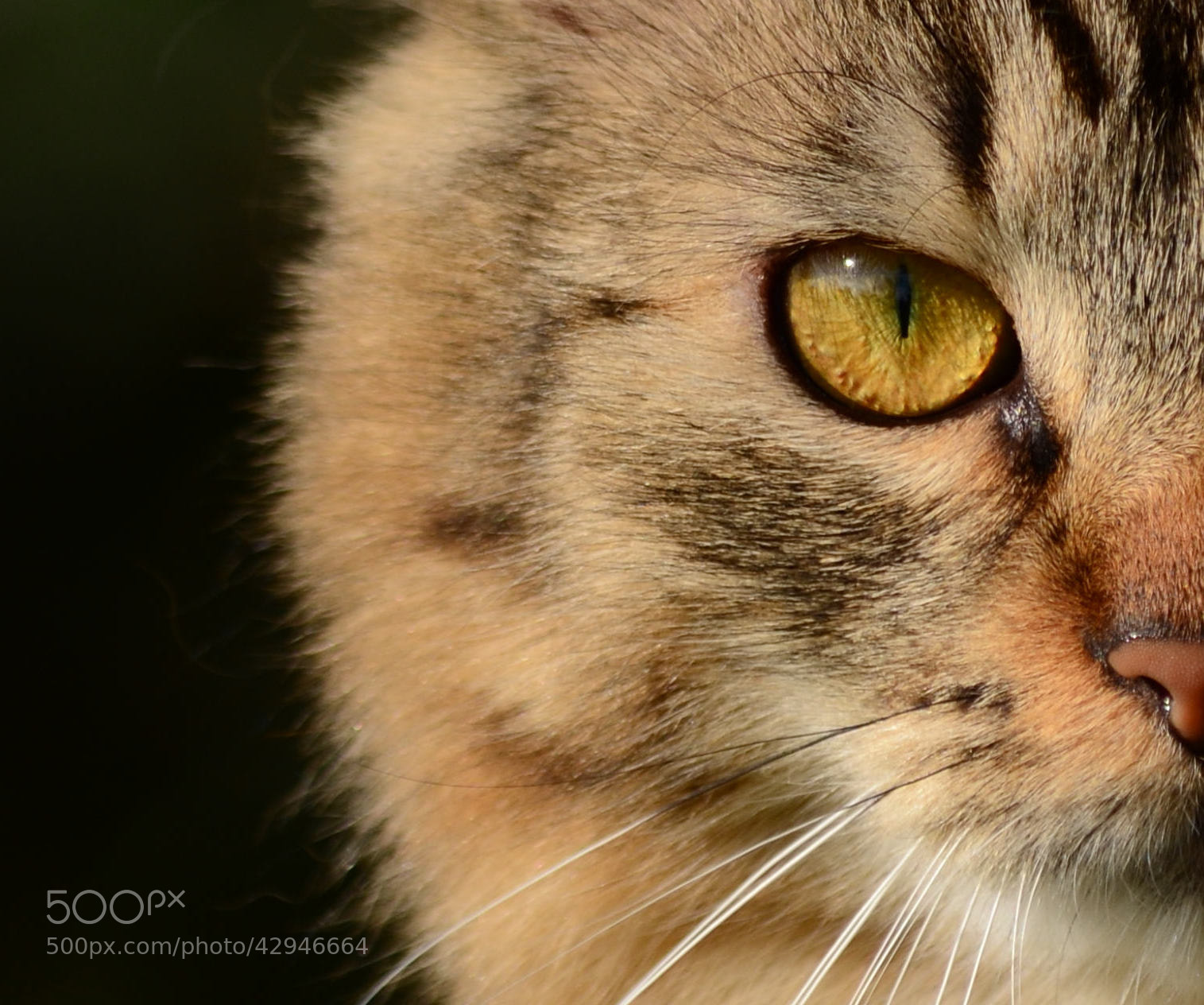 Photograph Nikon the cat by Alessandro Cellini on 500px