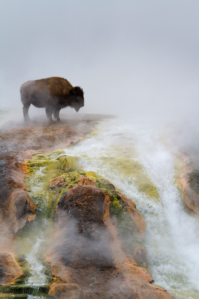 Photograph Excelsior Bison by Melanie M on 500px