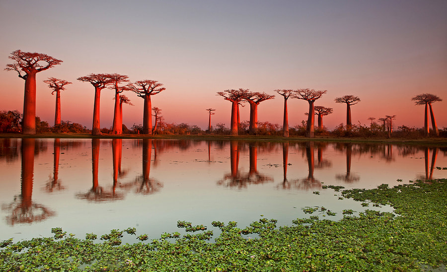 Photograph Avenue de Baobab,Madagascar by marcel staron on 500px