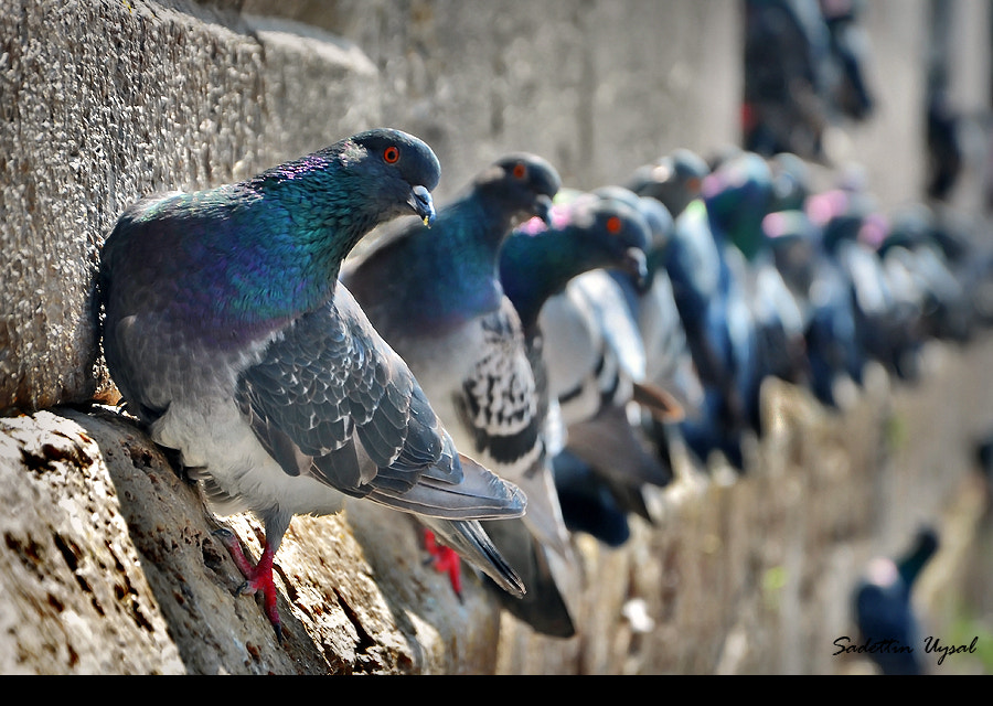 Photograph Pigeons On The Wall by Sadettin  Uysal on 500px