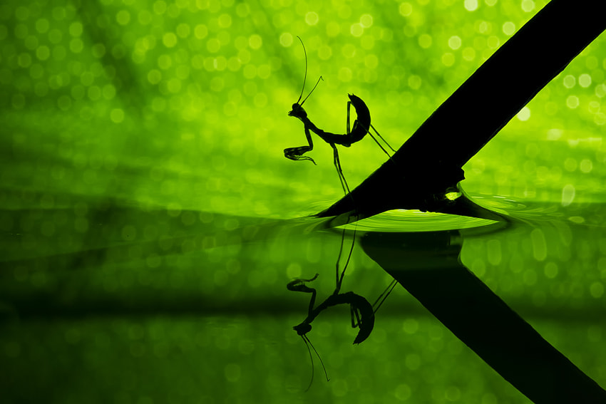 Photograph Praying Mantis by Basheer Sheick-Yousif on 500px