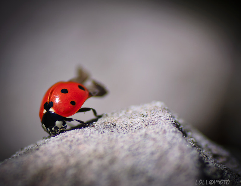 Photograph Coccinella d'alta quota by Lorenzo Lambertucci on 500px