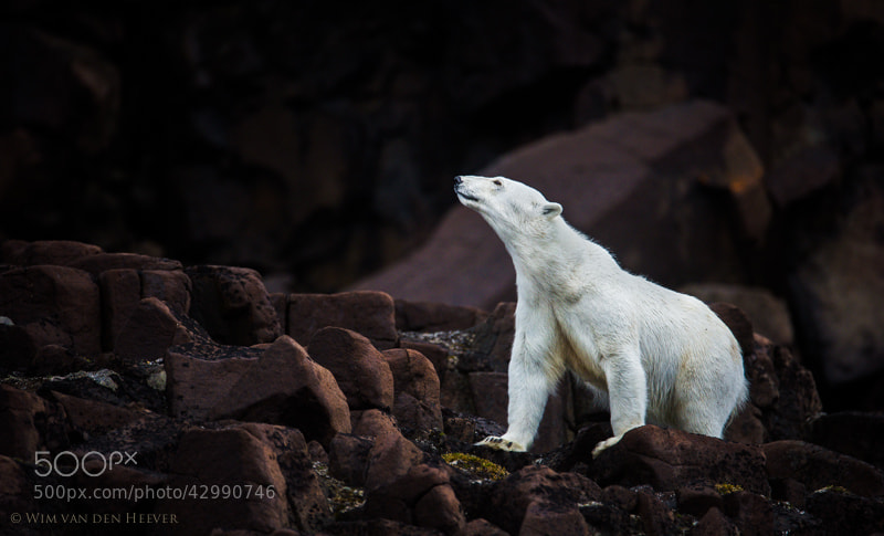 Photograph Polar Bear by Wim van den Heever on 500px