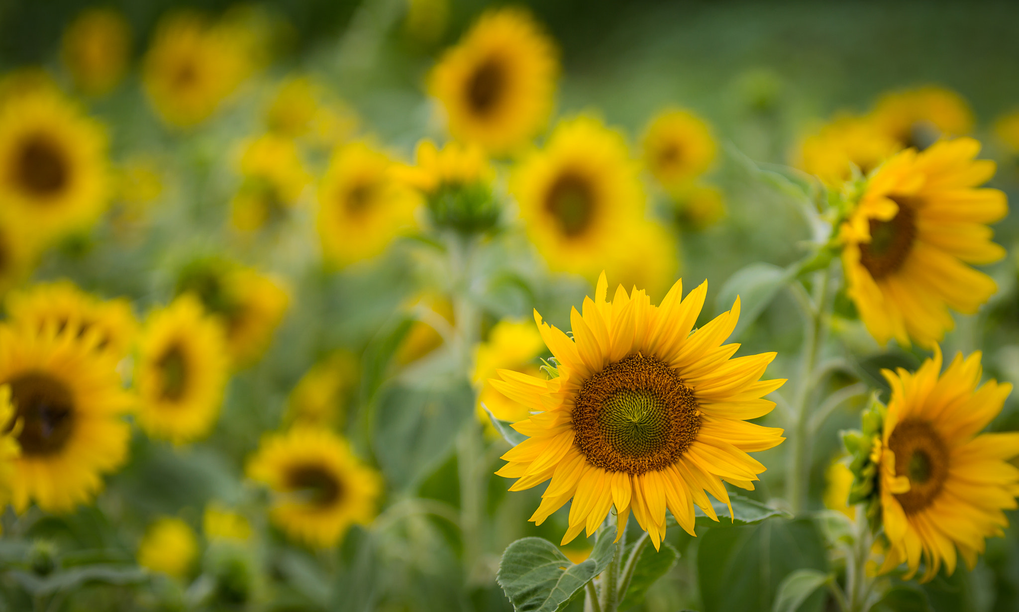 Photograph Sunflowers by Eva Lechner on 500px