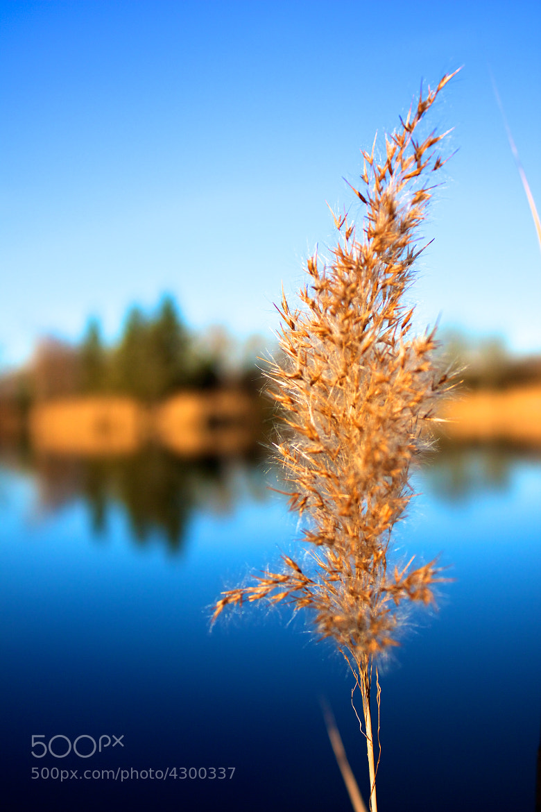 Photograph Reed by Katalin Gerencsér on 500px