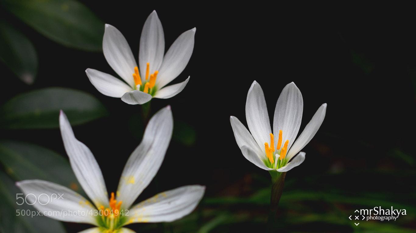 Photograph Blossom by Manish Shakya on 500px