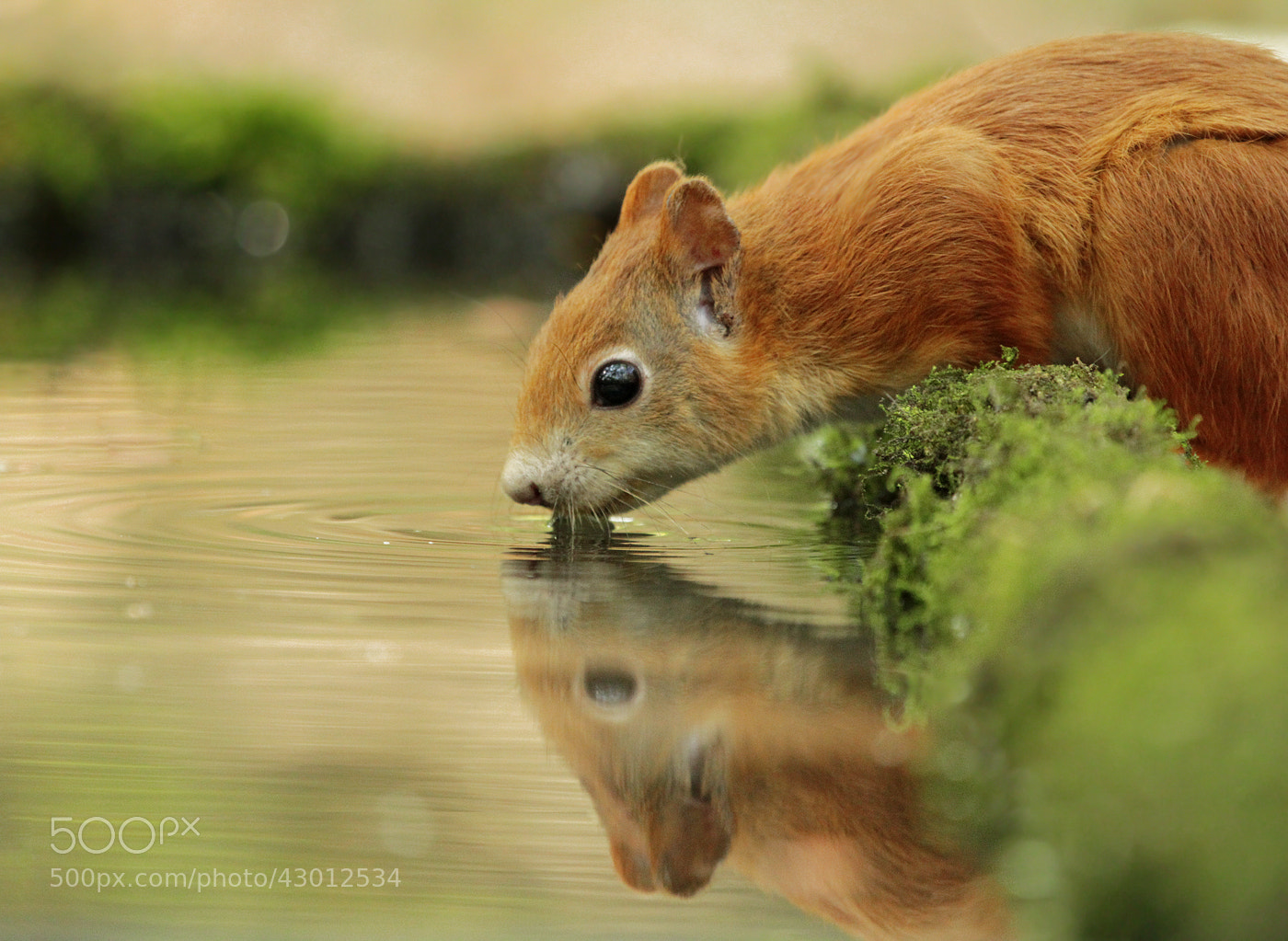 Photograph Thirsty Squirrel by Julian Rad on 500px