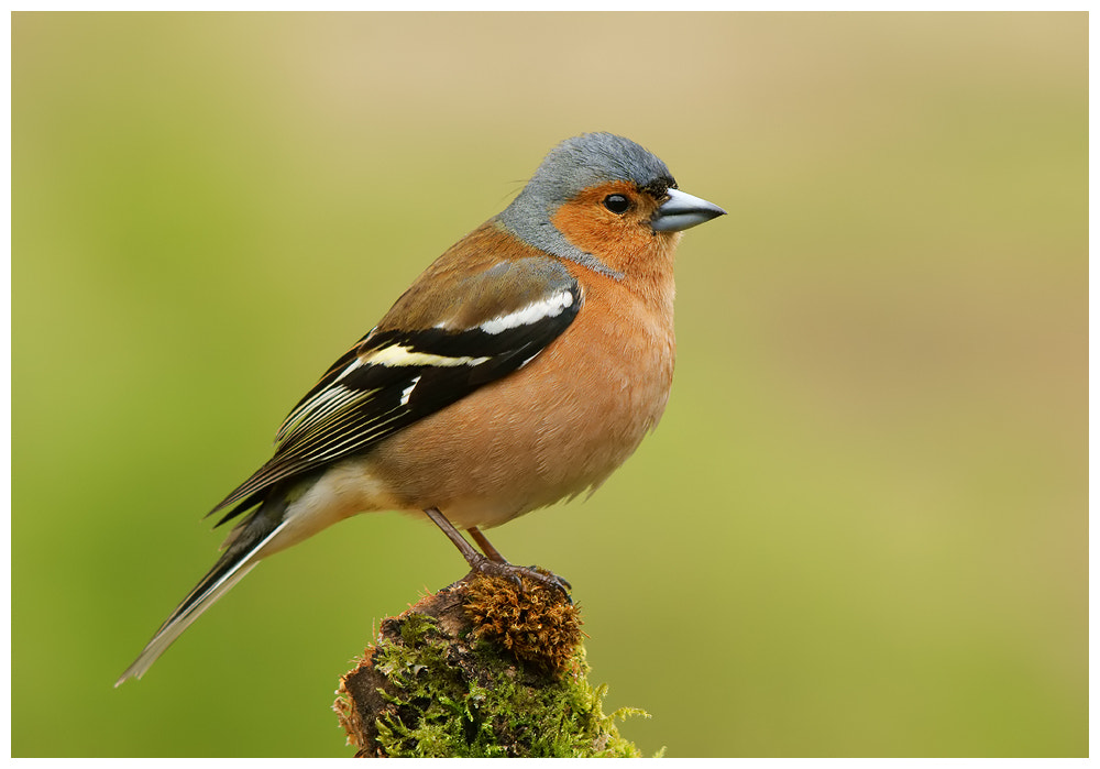 Photograph Male Chaffinch by Geoffrey Baker on 500px