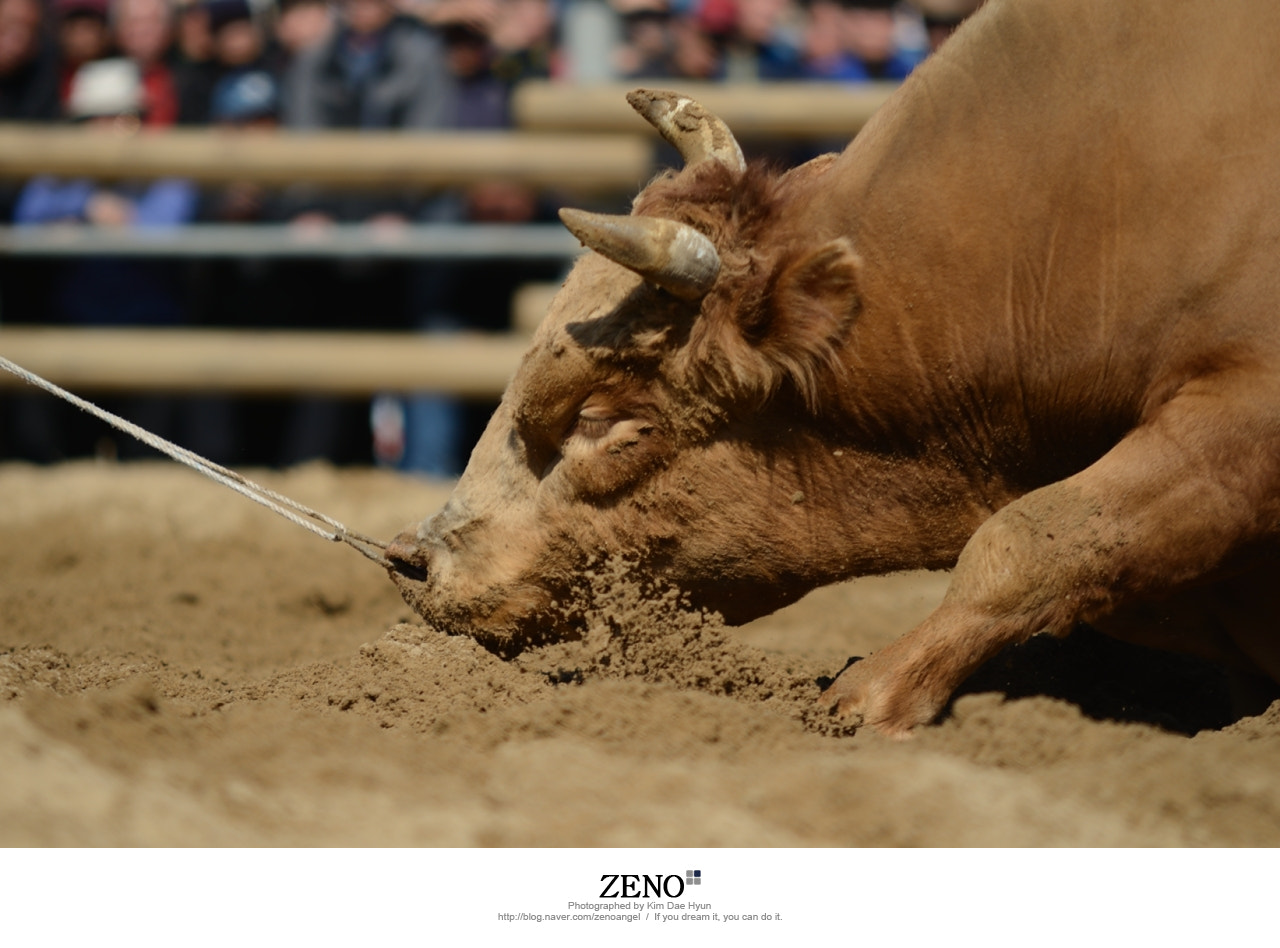 Photograph Bulls Fighting by Kim DaeHyun on 500px