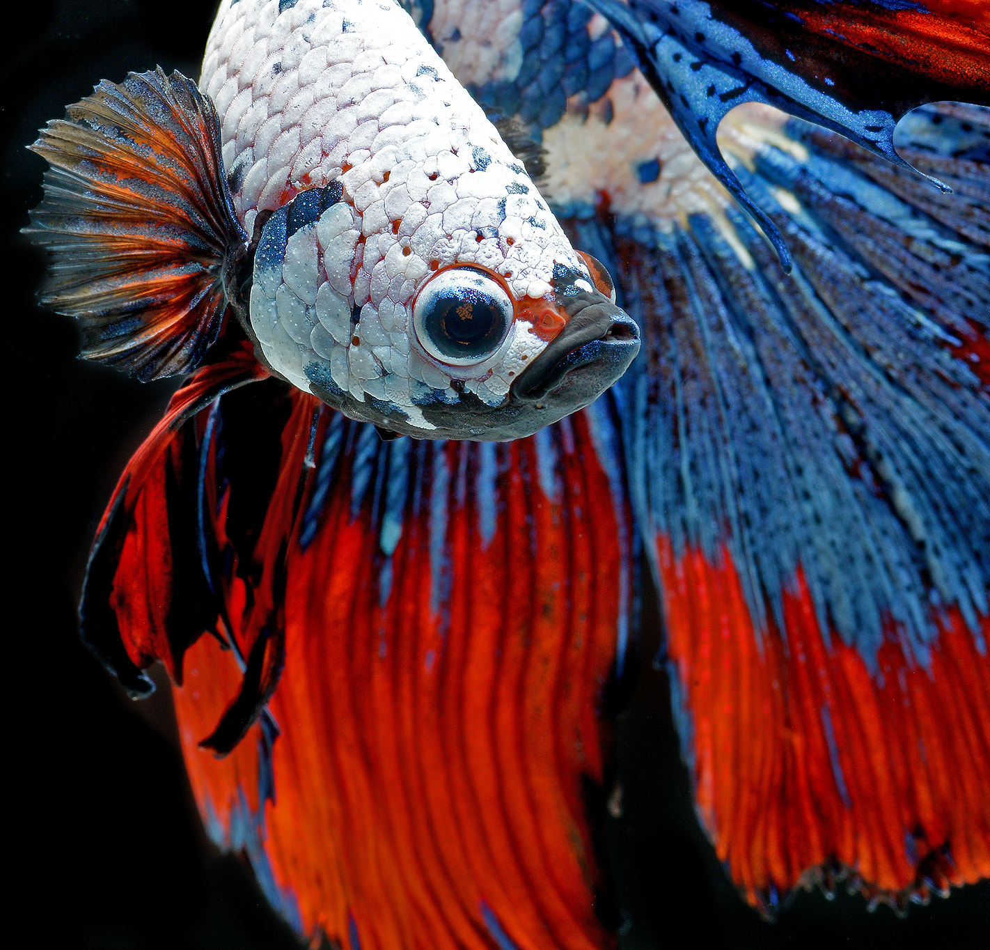 Photograph siamese fighting fish by visarute angkatavanich on 500px