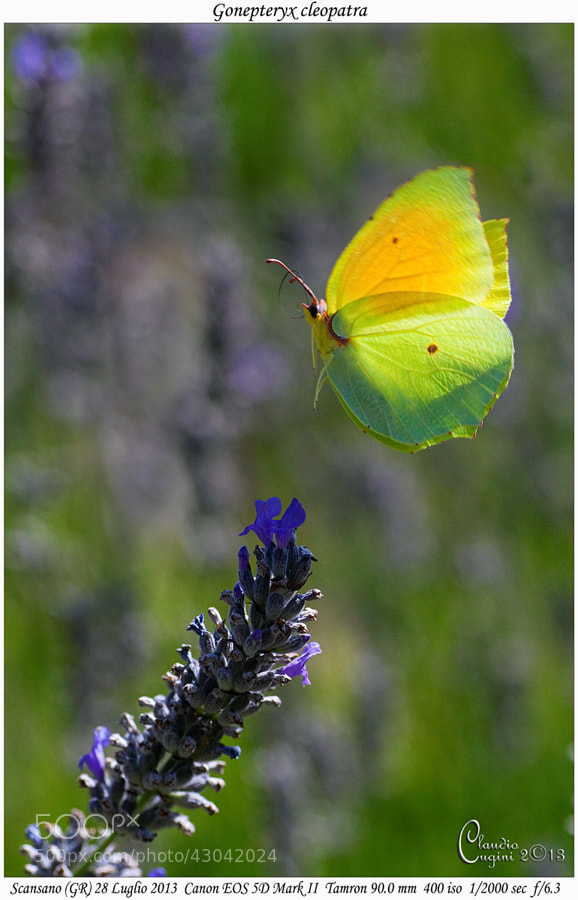 Photograph Landing on a Lavender flower by Claudio Cugini on 500px