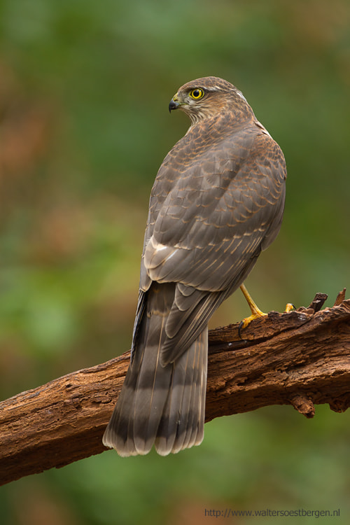 Photograph Eurasian Sparrowhawk by Walter Soestbergen on 500px