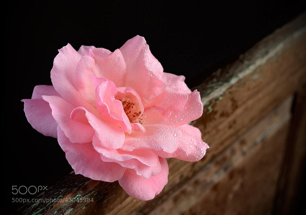 Photograph Rosa rosa by juandevillalba  on 500px