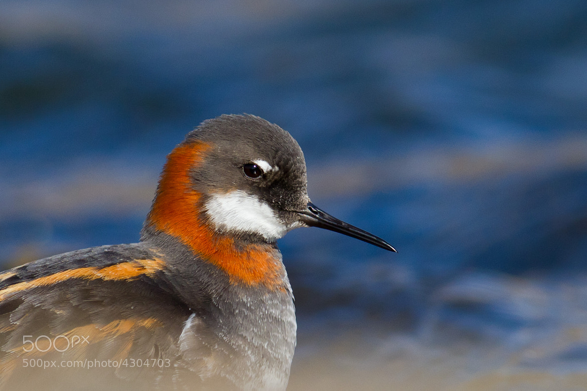 Photograph Red-necked Phalarope by Reynir Skarsgård on 500px
