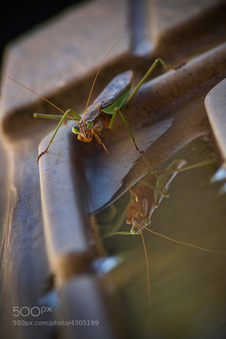 Photograph The Reflective Mantis by Frank Grace on 500px