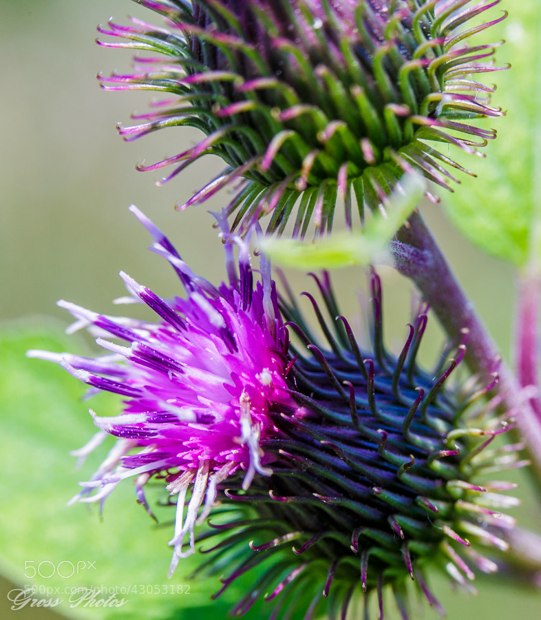 Macro of a Burdock in bloom