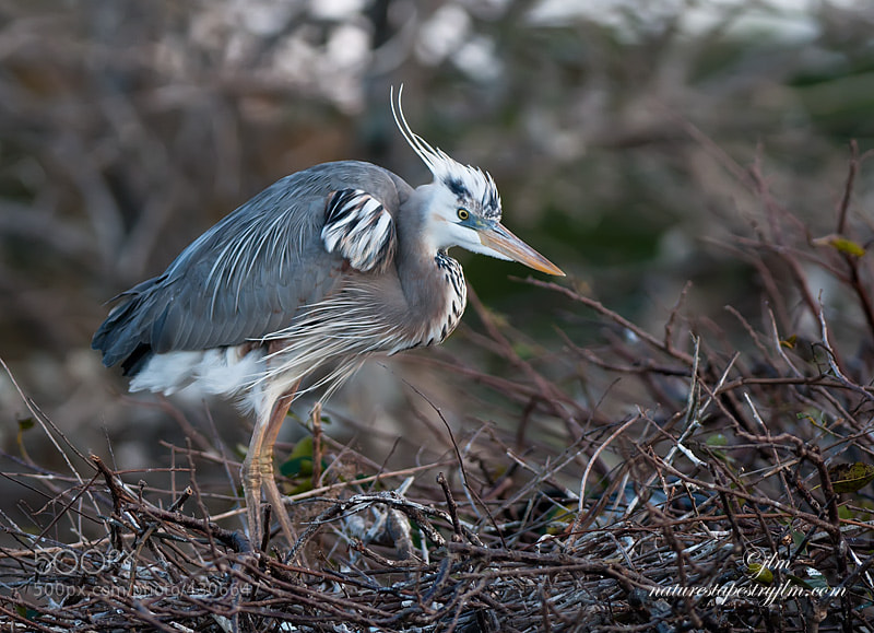 This is the result of the Great Blue Heron and the White Heron mating.  What a beautiful result.  It was the first time I had seen he or she and it has been sitting on a nest for the past couple of weeks so it will be interesting to see the babies.  It mated with a great blue heron so it may be less noticable this time.