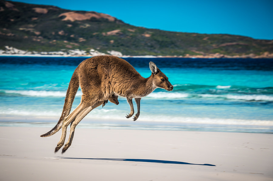 Kangaroo+Joey on beach by Jan Abadschieff on 500px.com