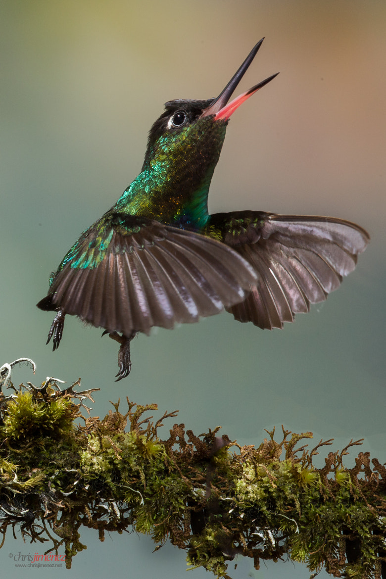 Photograph Fiery-throated Hummingbirds by Chris Jimenez on 500px