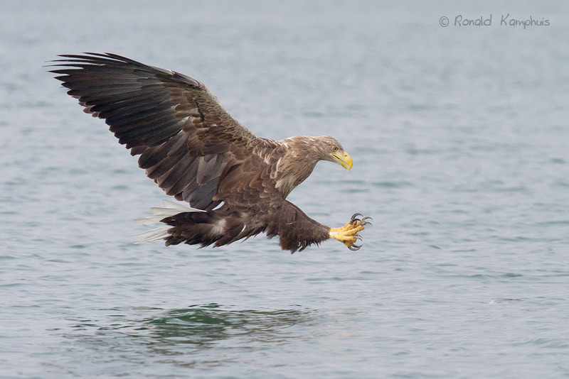 Photograph White tailed eagle by Ronald Kamphuis on 500px