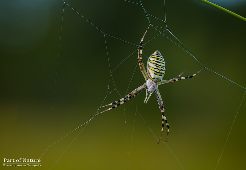 Photograph Waspspider by Florian Warnecke on 500px