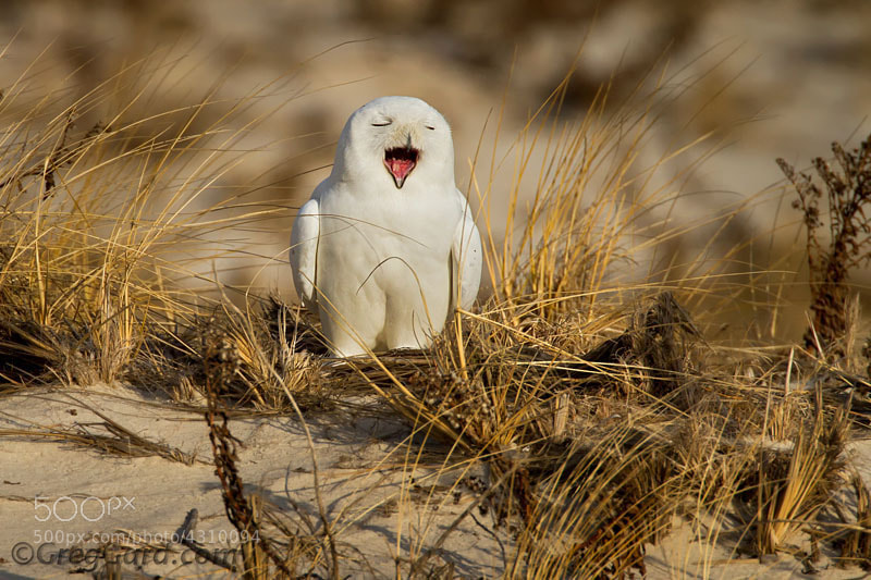 Photograph Snowy Owl - Nyctea scandiaca by Greg Gard on 500px