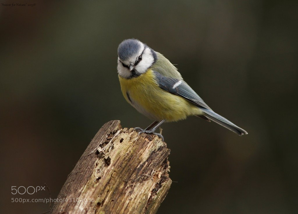 Photograph Blue Tit by Astrid  Stokvis on 500px