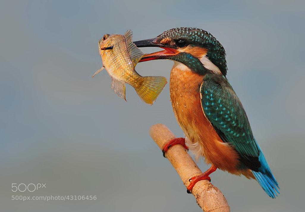 Photograph Kingfisher by dorit chaimovski on 500px