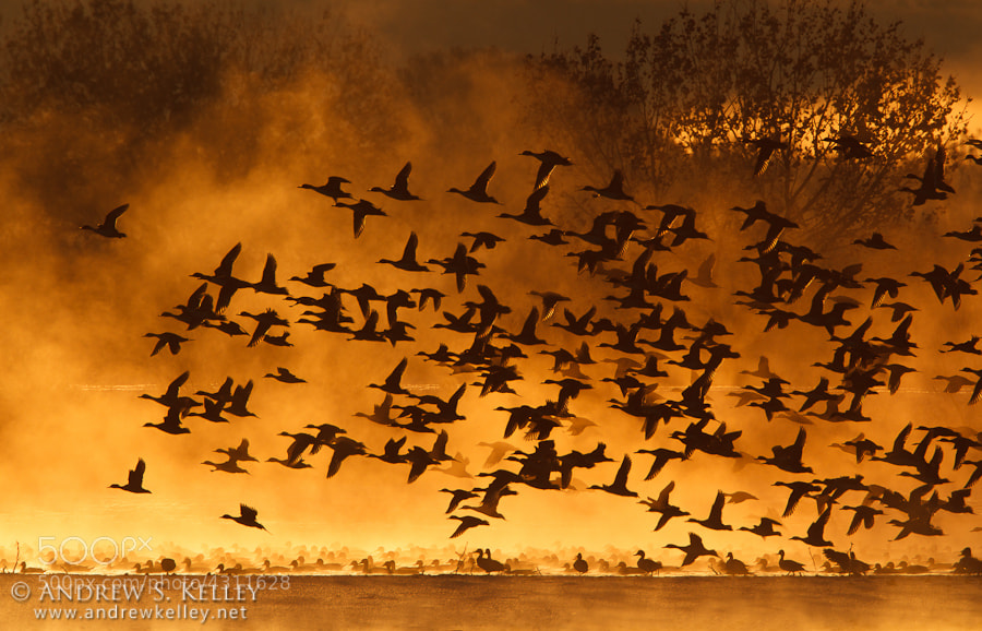 Photograph Pintail Silhouettes by Andrew Kelley on 500px