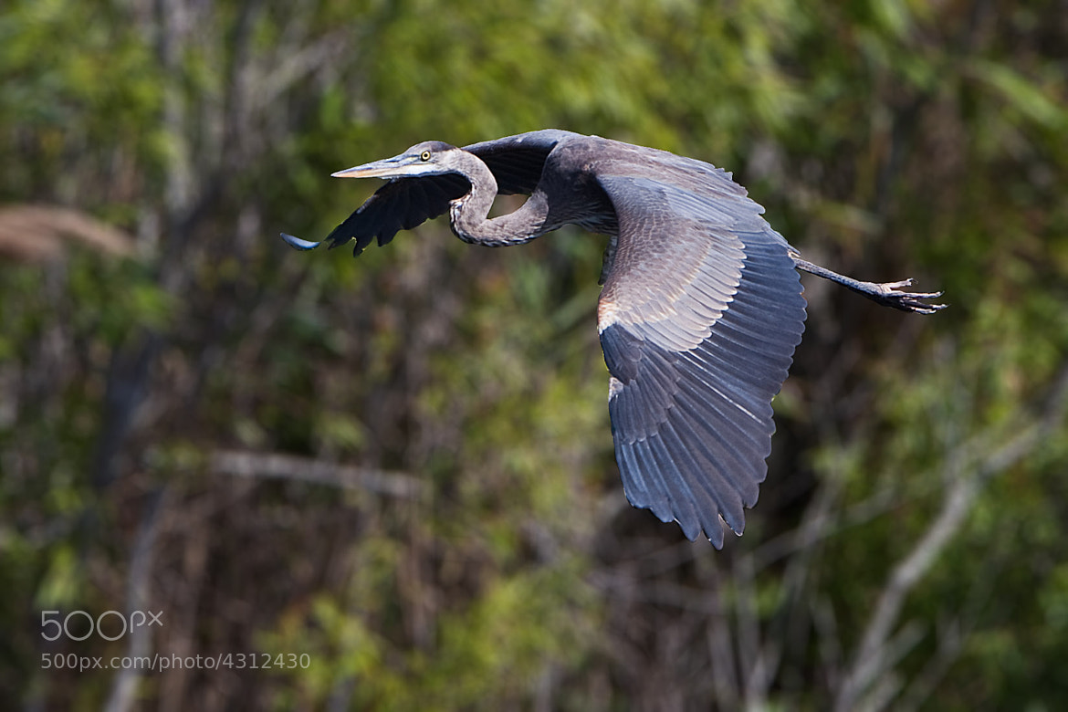 Photograph Great Blue Heron by Dmitry Zaslavsky on 500px
