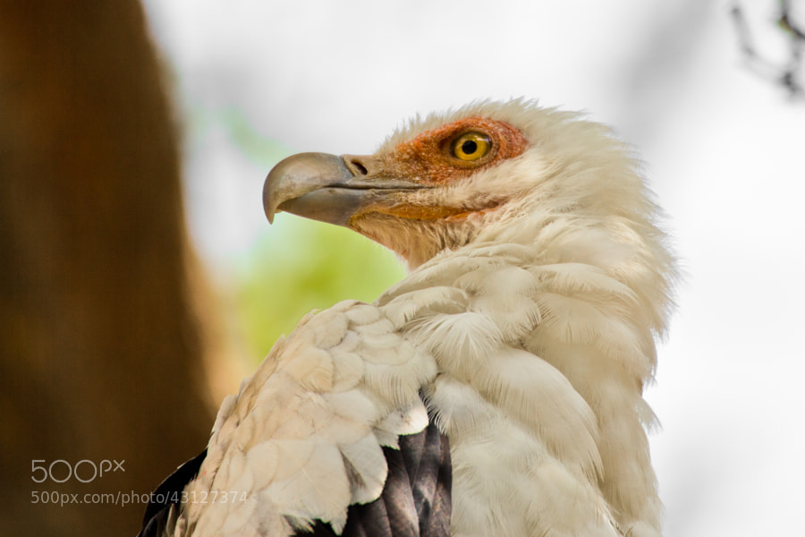 Closeup of palm nut vulture - Guinea Bissau  At 1.2-1.5 kg, 60 cm and 150 cm across the wings, the palm nut vulture (gypohierax angolensis) is the smallest Old World vulture. Its plumage is all white except for black areas in its wings. It has a red patch around the eye. In flight this species resembles an eagle more than a typical vulture, and it can sustain flapping flight, so it does not depend on thermals.