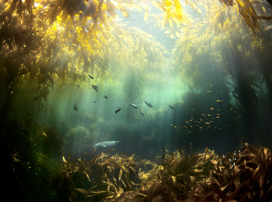 Photograph Kelp Forest by Cameron D Smith on 500px