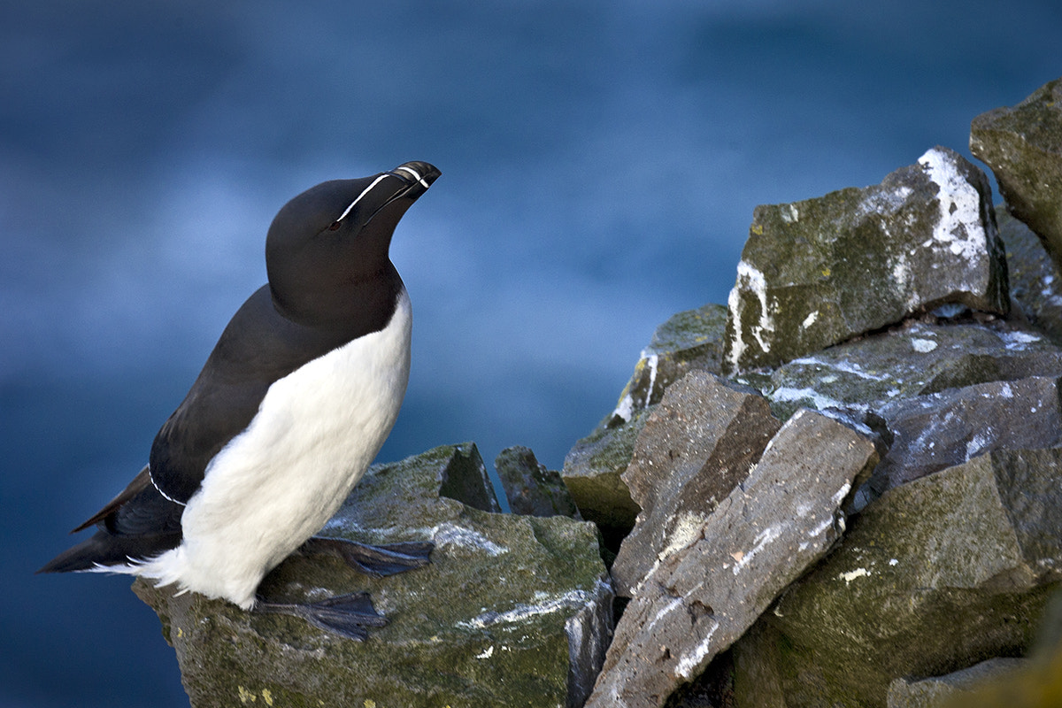 Photograph Atlantic Razorbill by xflo : w on 500px